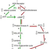 fat oxidation thru caffeine